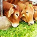 गाय अपने आप में चमत्कारी प्रयोगशाला हैं
